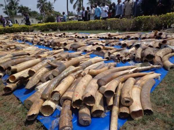 A stock of recently seized Ivory in Lome's autonomous port on February 4, 2014.  By Emile Kouton (AFP/File)