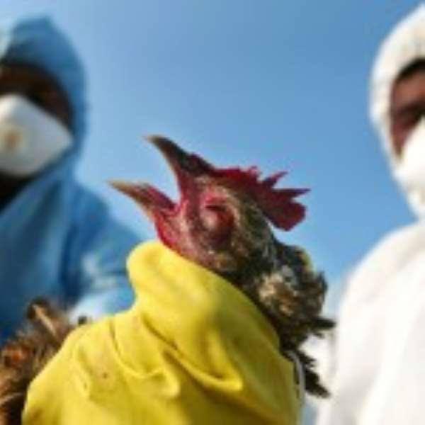 Bird Flu Hits 35 Poultry Farms