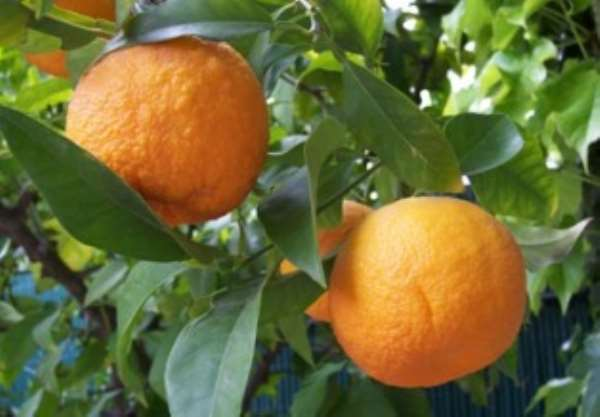 Oranges estimated to cost over GH¢10,000 had gone rotten due to unfavourable marketing conditions.