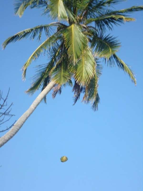 Falling Coconut tree kills fisherman