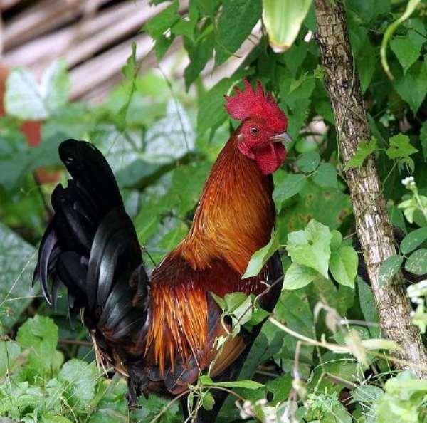 Fowl Thief Jailed 30 Days