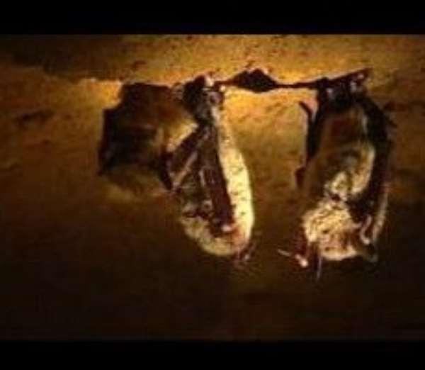 Bird flu, pig flu, now bat flu? Human risk unclear