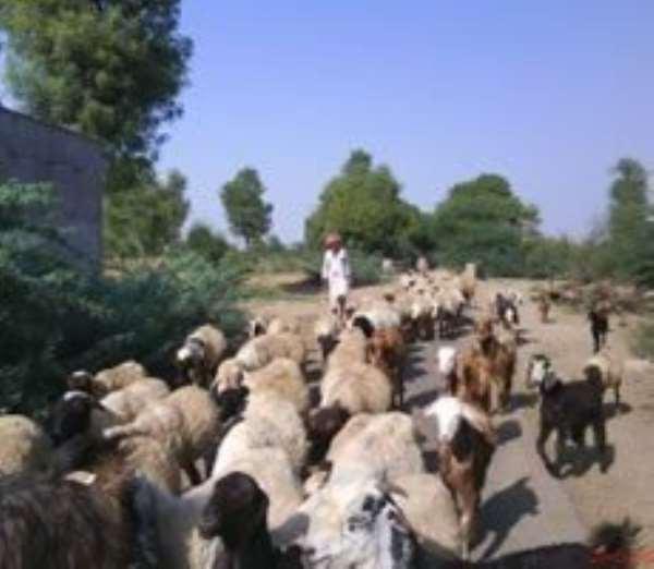 Engage nomadic herdsmen for peaceful coexistence - WANEP tells gov't