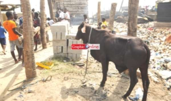 'Cattle' at Chorkor was sacrificial cow in Winneba