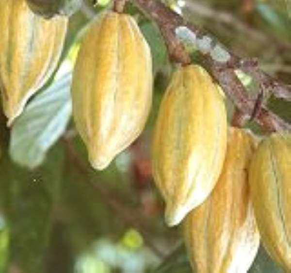 How UNDP is mitigating impact of climate change in cocoa growing communities in Brong-Ahafo