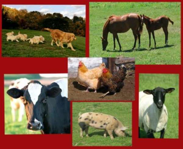 Livestock Pix