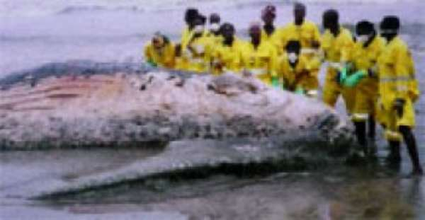 One of the seven whales washed ashore