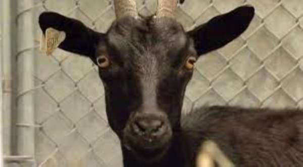 Army officer dies in attempt to save goat