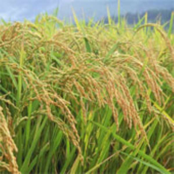 Project launched to boost rice production