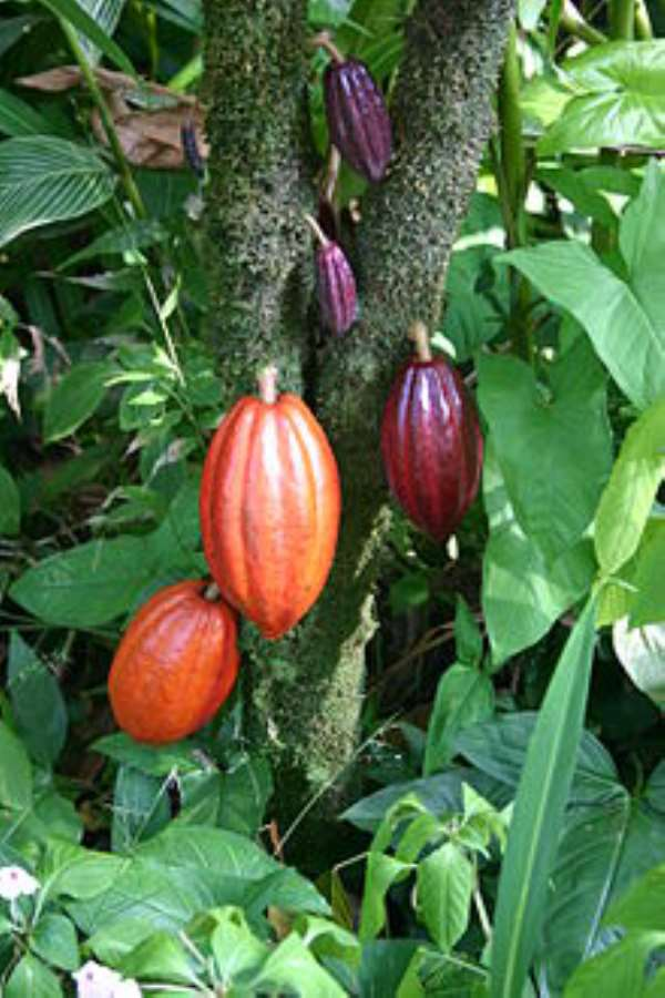 Ghana Safeguards  Cocoa Forest Landscape