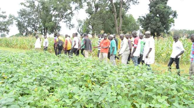 The farmers being conducted   by   Senior Research Scientist of CSIR-SARI in charge of the Manga Station, Dr Francis Kusi on the demonstration fields