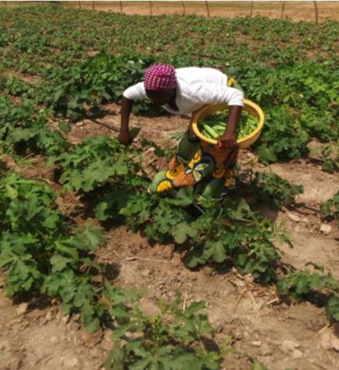 Jemila Agabeni, A Beneficiary Of Our Dry Season Vegetable Initiative Harvesting Okro In Her Farm