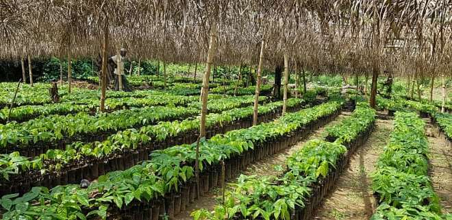 49201914203_qvmxpcb553_cocoa_seedlings.jpeg