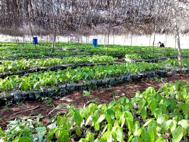 49201914209_wbreuhgtto_cocoa_seedlings_1.jpeg
