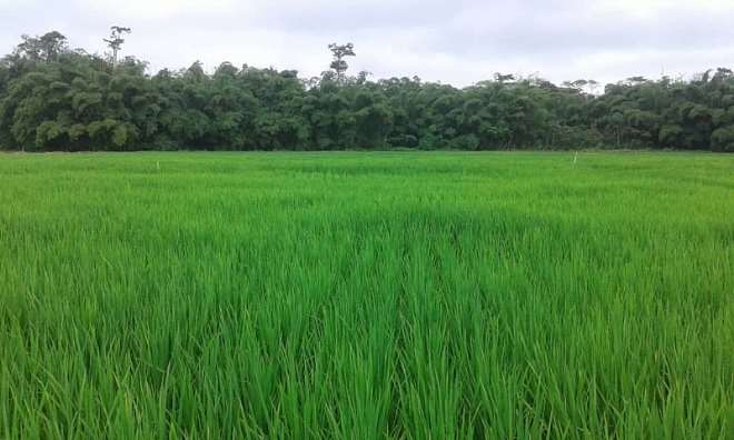 Rice Farm in Shama District