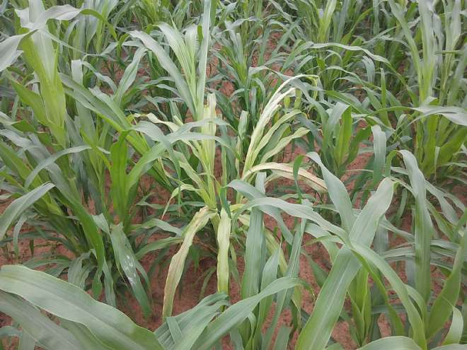 Naara The Early Millet At Its Earlt Stage (75 Days Maturity)