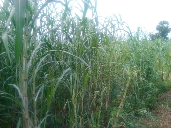 Zea Plant The Late Millet ( Maturing In 120 Days) Flowers Only In Ausgust And September Even When Planted In January