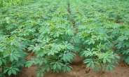 ACAI Scientist And Partners To Meet In Zanzibar To Review Progress In Cassava Agronomy