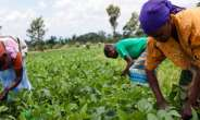 Commercialization of Agriculture in Ghana, Integrating the Kenya's Strategy
