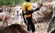 Fulani Herdsmen Herding With An Assault Riffle