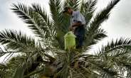 Legmi, a date palm drink, is drunk in southern Tunisia around the coastal city of Gabes.  By Mourad MJAIED (AFP)