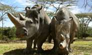 The sanctuary houses the world's last two northern white rhinos, Najin and her daughter Fatu, seen in their enclosure in the private conservancy of Ol-Pejeta in Nanyuki.  By TONY KARUMBA (AFP)