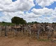 Brazil: hundreds of donkeys trapped on death farm
