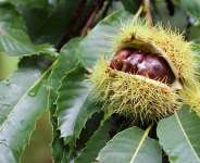 Fungal viruses have been important in reducing the impact of fungal diseases on chestnuts in Europe. - Source: Aygul Bulte/Shutterstock