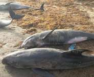 CIMAG calls for caution whiles investigations are carried over washing ashore of fishes and other Aquatic Mammals
