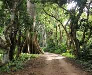 Giant old trees in the rainforest at Campement de Kloto, Missahoe, Agomé in Togo, West Africa.   - Source: Getty Images