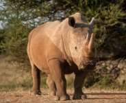 Kruger records up to 40 poacher incursions per day, though the rhino death toll has decreased in recent years.  By STEFAN HEUNIS (AFP/File)