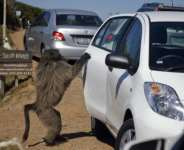 My other car's a Ferrari: A baboon at the Cape Point National Park, on the outskirts of Cape Town, opens a car door in search of food.  By GIANLUIGI GUERCIA (AFP)