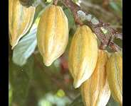 Cocoa smuggling: thinking the unthinkable