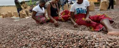 Cocoa accounts for 40 percent of Ivory Coast's exports but the country is losing out on value added by the processing and distribution sectors, the World Bank says.  By Sia KAMBOU (AFP/File)