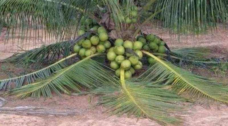 Malaysian Dwarf Coconut Seedlings For Sale