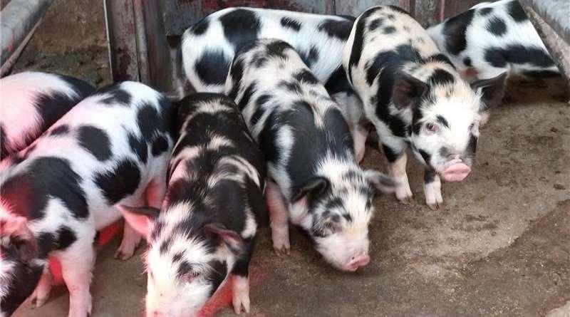 livestock-pigs-kolbroek-pigs-for-sale-id-63231875-type-main.jpg