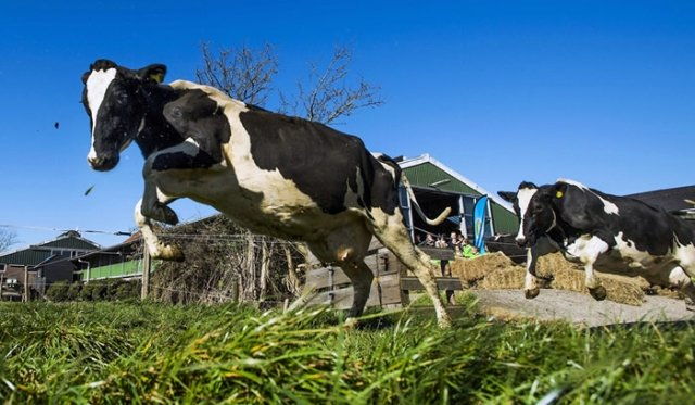 Cow Escapes Butcher and Charges Police