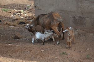 Assembly Auctions 4 'Arrested' Goats For GHc665