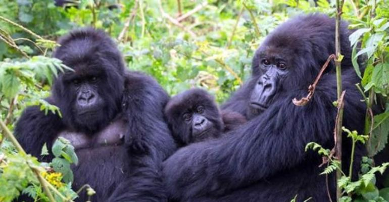 Mountain Gorilla sightings in the Loango National Park, Gabon. Picture: Supplied
