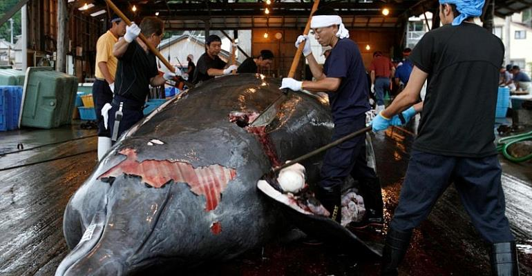 Japan Embraces Commercial Whaling, Pulls Out Of Global Alliance That Banned It