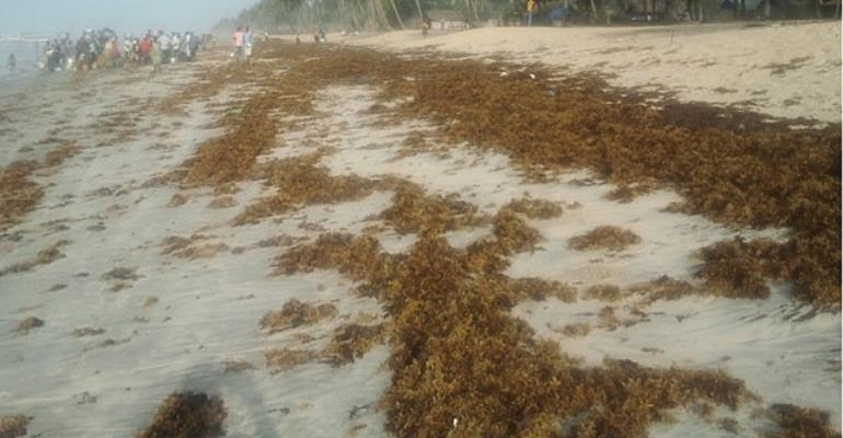 Ghana's Seaweed Challenge: Thinking Loud Than Worse: Perspectives From The Community