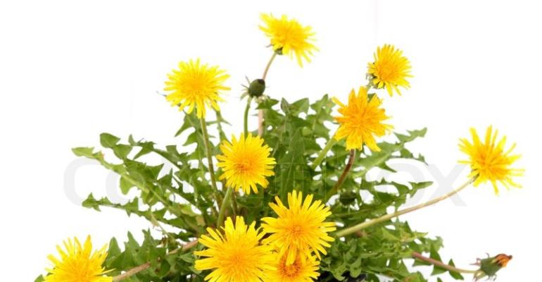The Usefullness Of The Dandelion Plant In Boosting The Immune System