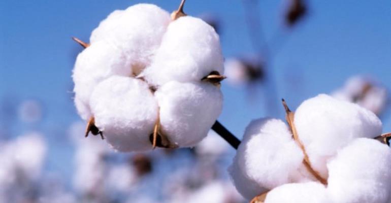 GMO Cotton Problems Won't Recur In Africa