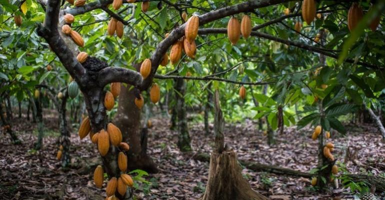 We've Not Forcibly Taken Over Cocoa Farms – Ghana Rubber Estates Limited