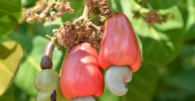 5,100 Cashew Farmers To Be Supported By EU Grant—ADRA