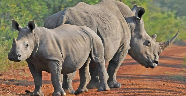 Asian Consumers, Criminal Gangs Drive Rhino Poaching In Africa