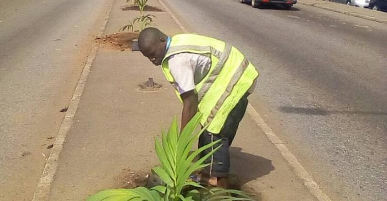 Beautification exercise in Kumasi: Residents kick against planting of palm trees in medians