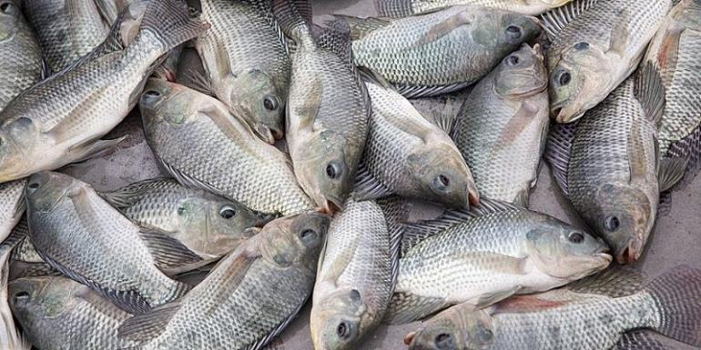 Gov't Commended For Banning Tilapia Importation