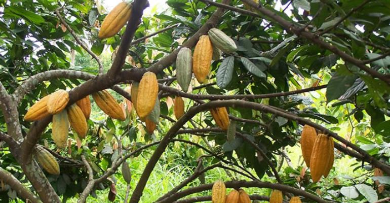 Is Cocoa A Curse Or A Blessing To Ghana?(1)