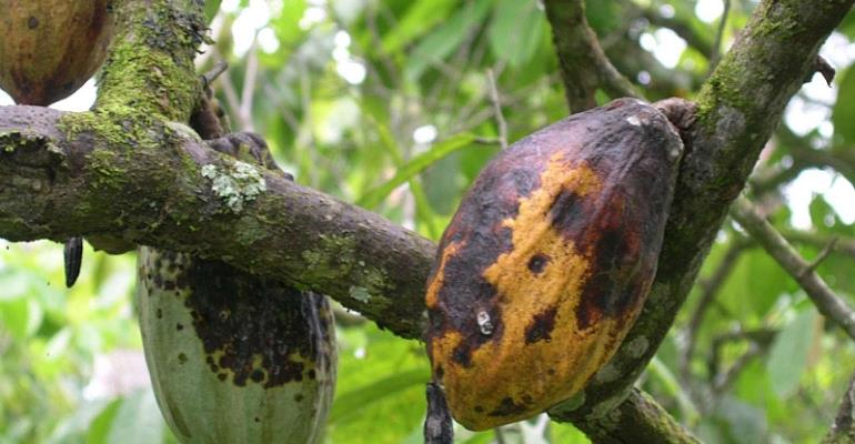 Gov't To Embark On Rehabilitation Exercise To Cut Down Infected Cocoa Trees